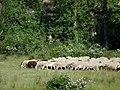 Rebaño de ovejas en Hiendelaencina.JPG