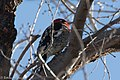 Red-breasted Sapsucker RBSA stake-out near Paton's AZ 2018-01-25 10-30-58 (25073257187).jpg