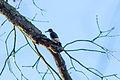 Red-headed woodpecker (24619238749).jpg