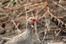 Red-necked Francolin, photo taken in Mikumi National Park, July 2011.jpg