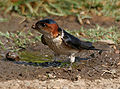 Red-rumped Swallow (Hirundo daurica) collecting mud for nest W IMG 7967.jpg