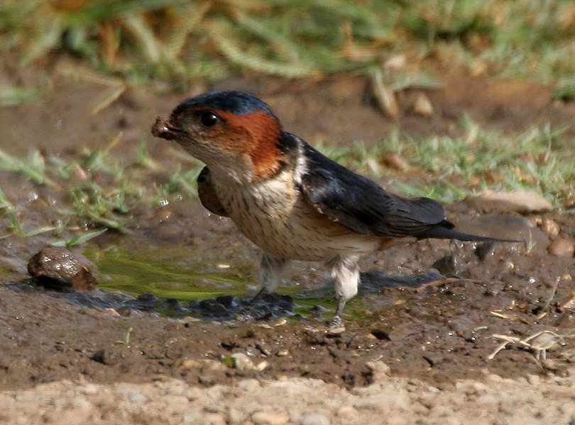 Red-rumped Swallow (Hirundo daurica) collecting mud for nest W IMG 7967