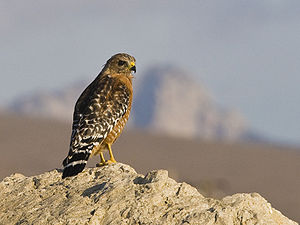 Rotschulterbussard (Buteo l. lineatus), adult