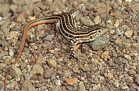 Red-tailed Spiny-footed Lizard (Acanthodactylus erythrurus) (36541577786).jpg