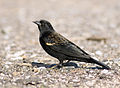 Red-winged Blackbird (Agelaius phoeniceus) 1st Summer.jpg