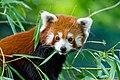 Red Panda (37242345980).jpg
