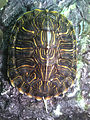 Red eared slider shell.jpg