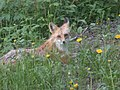 Red fox dandelions.JPG