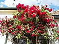 Red roses in Watertown, 2016 Esztergom.jpg