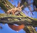 Red squirrel (50954895683).jpg