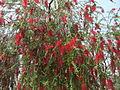 Red tree - Flickr - Swami Stream.jpg