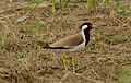 Red wattled Lapwing.jpg