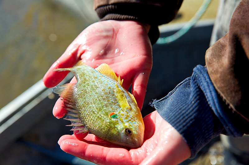 Redear Sunfish being held inside an anglers hand.