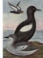 Reed-black-guillemot.png