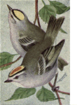 Reed-golden-crowned-kinglets.png
