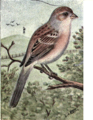 Reed-tree-sparrow.png