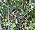 Reed Bunting, male. Emberiza schoeniclus - Flickr - gailhampshire.jpg