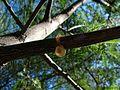 Resin Oozing from Mesquite Girdle - Flickr - treegrow.jpg