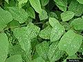 Reynoutria japonica leaf (08).jpg