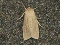 Rhizedra lutosa (15239778818).jpg