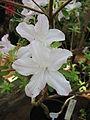 Rhododendron 'Zhemchug' 02.JPG