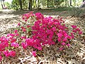 Rhododendron Autumn Sundance (3455826677).jpg