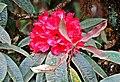 Rhododendron arboreum Darjeeling.jpg