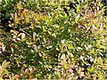 Rhododendron atlanticum 0zz.jpg