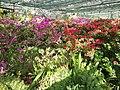 Rhododendron cv. Kiev Grishko 18.jpg