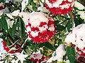 Rhododendrons611.jpg