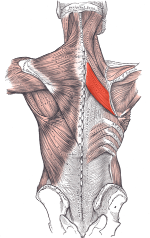 Rhomboid major muscle - Muscles connecting the upper extremity to the vertebral column. Rhomboid major indicated in red.