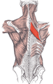 Rhomboideus major.png
