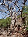 Ribeira Grande de Santiago-Baobabs (2).jpg