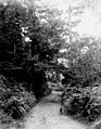 Road through forest, June 24, 1899 (WASTATE 2566).jpeg