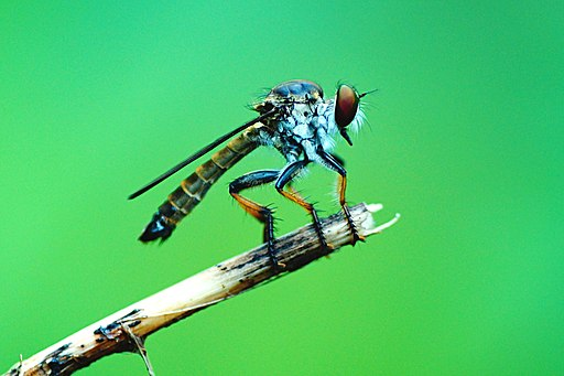 Robber fly 02546