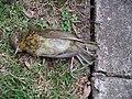 Robin roadkill 31l06.JPG