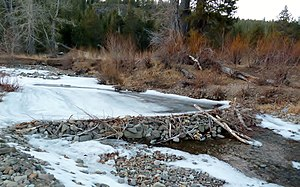 Beaver dam - Beavers use rocks for their dams when mud and branches are less available as seen on Bear Creek, a tributary to the Truckee River, in Alpine Meadows, California