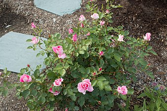 Rosa 'Carefree Wonder' IMG 0173.jpg