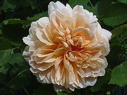Rosa 'Tea Clipper' J3
