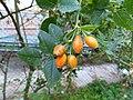 Rosa canina fruit (36).jpg