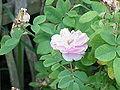 Rosa damascena4.jpg