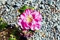 Rosa rugosa Hansa 0zz.jpg