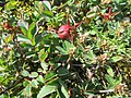 Rosa spinosissima fruit (14).jpg