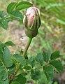 Rosa spinosissima inflorescence (91).jpg