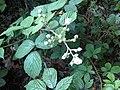 Rosales - Rubus fruticosus - 42.jpg