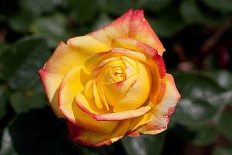 Rose, Spectra - Flickr - nekonomania (4).jpg