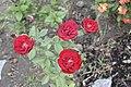 Rose Flower2.jpg