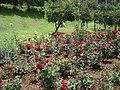 Rose Garden, Ooty - panoramio (3).jpg