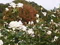 Rose Pascali バラ パスカリ (6305857170).jpg