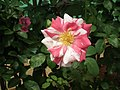 Rose from Lalbagh flower show Aug 2013 8569.JPG